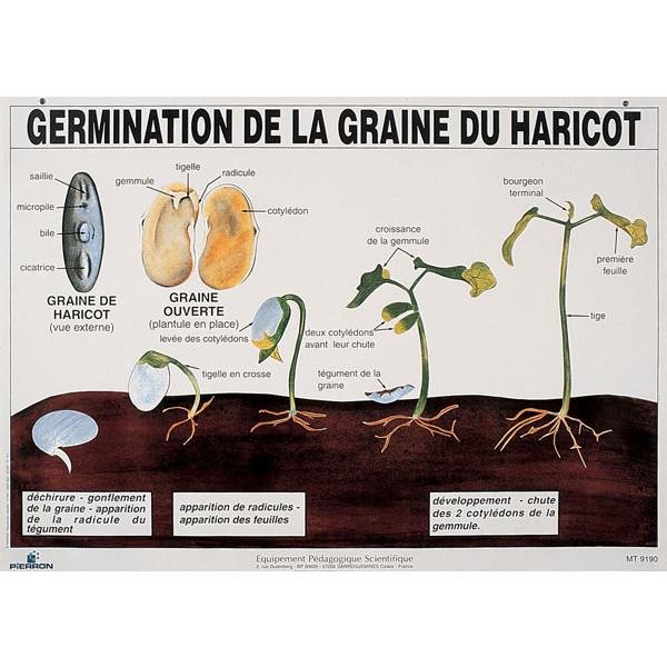 Planche germination de la graine de haricot pierron for Temps de germination gazon