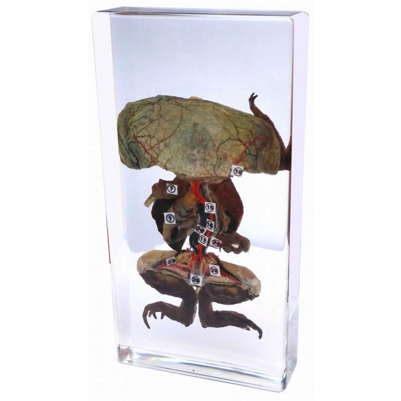 dissection de grenouille en inclusion de resine pierron. Black Bedroom Furniture Sets. Home Design Ideas