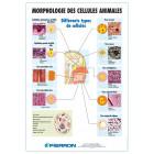 PLANCHE : MORPHOLOGIE DES CELLULES ANIMALES