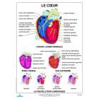 PLANCHE : Coeur humain