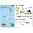 PLANCHE : LE CYCLE DE L'AZOTE