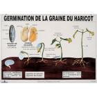 PLANCHE : GERMINATION DE LA GRAINE DE HARICOT
